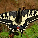 Хвостоносец махаон / Papilio machaon (Linnaeus, 1758)