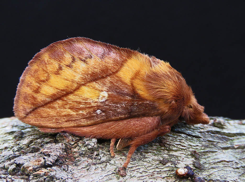 Коконопряд травяной (Euthrix potatoria)